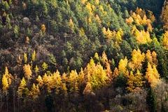 Los árboles de alerce y los árboles de pino en otoño sazonan Foto de archivo