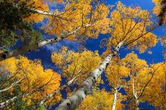 Los árboles de Aspen en el bosque con caída amarilla brillante se van Fotos de archivo libres de regalías