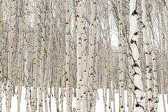 Los árboles de Aspen en invierno con agua empapada raspan imagen de archivo