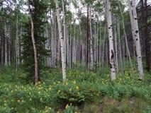 Los árboles de Aspen suben sobre el campo de las flores salvajes amarillas 2 Foto de archivo libre de regalías