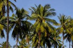 Los árboles de coco con el fondo del cielo azul Foto de archivo libre de regalías