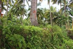 Los árboles de coco sirven como protectores del riverbank Fotos de archivo libres de regalías
