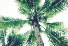 Los árboles de coco tienen un coco Foto de archivo libre de regalías