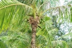 Los árboles de coco tienen un coco Foto de archivo