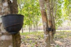 Los árboles de goma Imágenes de archivo libres de regalías