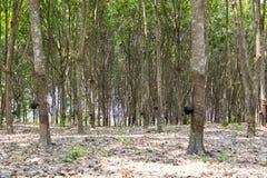 Los árboles de goma Imagen de archivo libre de regalías