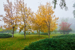 Los árboles de la caída y las hojas caidas en niebla Foto de archivo libre de regalías
