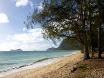 Los árboles de madera del hierro cuelgan sobre la playa de Waimanalo fotografía de archivo libre de regalías