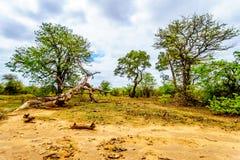 Los árboles de Mopane y los árboles golpearon abajo por los elefantes en el parque nacional de Kruger Imágenes de archivo libres de regalías