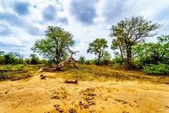 Los árboles de Mopane y los árboles golpearon abajo por los elefantes en el parque nacional de Kruger Foto de archivo libre de regalías