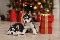 Los árboles de navidad blancos y negros de Husky Puppies están adentro Foto de archivo libre de regalías
