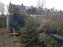 Los árboles de navidad recogieron en jardín trasero para recoger el dinero por el árbol de navidad imágenes de archivo libres de regalías