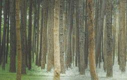 Los árboles de pino Fotografía de archivo
