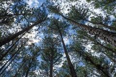 Los árboles de pino Fotografía de archivo libre de regalías