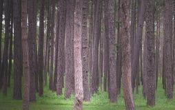 Los árboles de pino Imagen de archivo