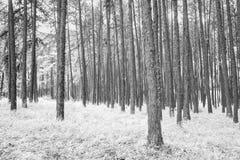 Los árboles de pino Fotos de archivo libres de regalías
