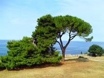 Los árboles de pino acercan a la playa fotografía de archivo