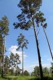 Los árboles de pino altos se alzan Imagen de archivo