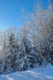 Los árboles de pino cubiertos en el invierno fresco caido nievan Fotografía de archivo libre de regalías