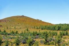 Los árboles de pino en la ladera Fotografía de archivo libre de regalías