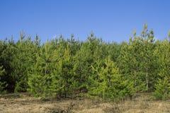 Los árboles de pino en un fondo del cielo azul con las nubes Imágenes de archivo libres de regalías
