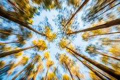 Los árboles de pino, enfocan en efecto Imagen de archivo