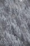 Los árboles de pino modelan imagen de archivo libre de regalías