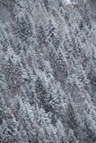 Los árboles de pino modelan imágenes de archivo libres de regalías