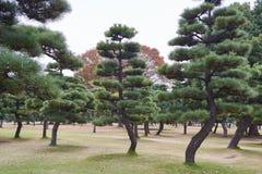 Los árboles de pino negro en el nacional de Kokyogaien cultivan un huerto Fotos de archivo