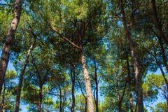 Los árboles de pino parquean en la costa de la ciudad Alba Adriatica en Italia, fondo de la naturaleza Fotos de archivo libres de regalías