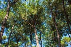 Los árboles de pino parquean en la costa de la ciudad Alba Adriatica en Italia, fondo de la naturaleza Fotografía de archivo libre de regalías