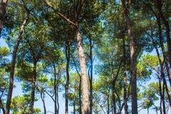 Los árboles de pino parquean en la costa de la ciudad Alba Adriatica en Italia, fondo de la naturaleza Fotos de archivo