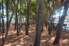 Los árboles de pino parquean en la costa de la ciudad Alba Adriatica en Italia, fondo de la naturaleza Foto de archivo libre de regalías