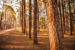 Los árboles de pino plantaron Tailandia septentrional ordenada Fotos de archivo