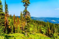 Los árboles de pino rojos, de muertes debido a los ataques del escarabajo del pino en Sun enarbolan en A.C. Canadá fotografía de archivo libre de regalías