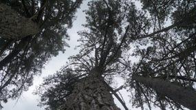 Los árboles de pino viejos que crecen en Waikato cultivan en Nueva Zelanda imagen de archivo