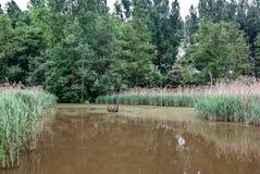 Los árboles de Reed apuntalan la reserva de naturaleza del lago, het Vinne, Zoutleeuw, Bélgica Imagenes de archivo