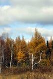 Los árboles de un abedul duran el soporte Imagen de archivo libre de regalías