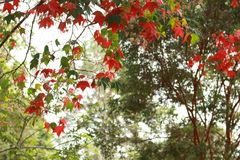 Los árboles de un arce rojo y árbol general verde, hace una buena visión Foto de archivo