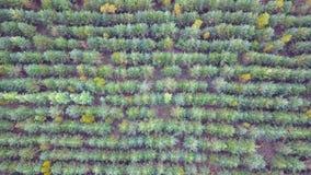 Los árboles del Año Nuevo plantados para derribar para el día de fiesta La plantación del Año Nuevo Silueta del hombre de negocio almacen de video