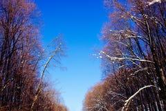 Los árboles del azul de cielo del bosque de la nieve del paisaje del invierno suben la primavera del extremo que comienza marzo Fotografía de archivo libre de regalías
