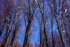 Los árboles del azul de cielo del bosque de la nieve del paisaje del invierno suben la primavera del extremo que comienza marzo Fotos de archivo