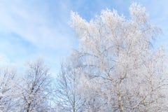 Los árboles del invierno cubrieron el fondo del cielo azul de la nieve Imagen de archivo libre de regalías