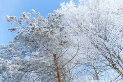 Los árboles del invierno cubrieron el fondo del cielo azul de la nieve Foto de archivo libre de regalías