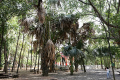 Los árboles del lecomtei del corypha en el templo de Manee Kwan Chai en Saraburi, Tailandia fotografía de archivo
