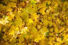Los árboles del otoño, amarillo se van en los árboles, paisaje del otoño, otoño p Foto de archivo libre de regalías