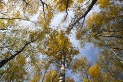 Los árboles del otoño con amarillo se van contra el cielo Imagenes de archivo