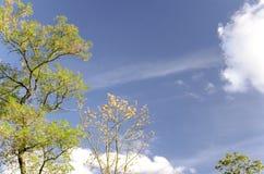 los árboles del otoño con amarillo se van contra el cielo azul y las nubes blancas Foto de archivo libre de regalías