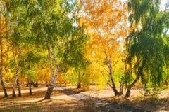 Los árboles del otoño con amarillo se van en el bosque Fotografía de archivo