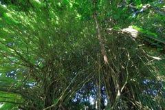 Los árboles en arco iris caen parque de estado en Hawaii imagen de archivo